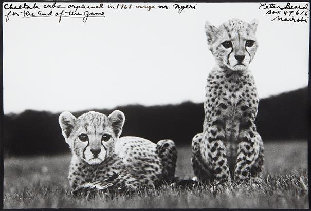 A-Peter-Beard-Orphaned-Cheetah-Cubs-Original